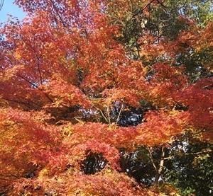 いよいよ本格的紅葉が始まった 自宅から歩20分くらいにある公園の紅葉が見事 2019-12-01