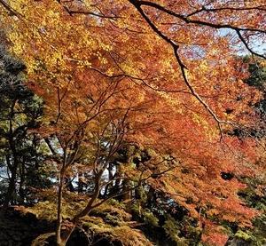 東京 小石川後楽園のモミジの紅葉が見頃 2019-12-04