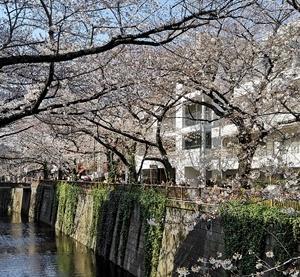 目黒川の桜 2020-03-26