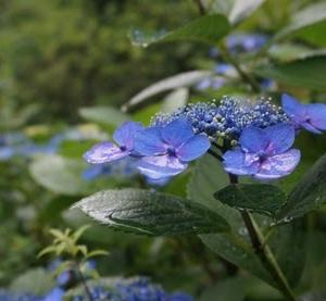 自宅近くの紫陽花たち 2020-06-14