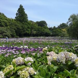 横須賀しょうぶ園の花菖蒲 2021-06-08