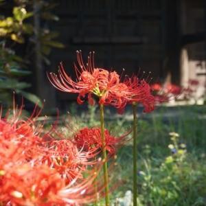 鎌倉 英勝寺の彼岸花(曼珠沙華)が満開で見頃 カリガネソウ、ハギも見頃 2021-09-19