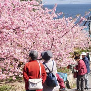 小積の河津桜2020