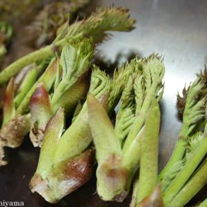 タラの芽(山菜)