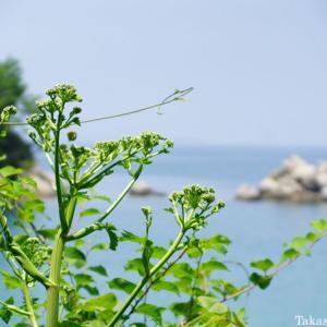 ハマウドの花
