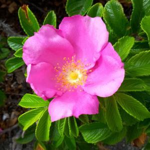 初めてスマホで撮影、「はまなす」の花と美味しそうな身がたくさん生っていました。