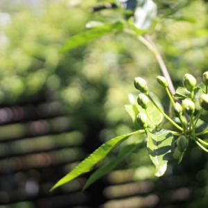 放置モッコウバラが大木になった件と、夏に向けてのUV対策!
