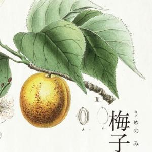 梅の実黄ばむ