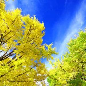黄葉見ごろの昭和記念公園 (11月17日)
