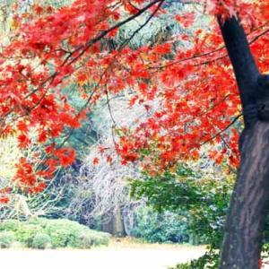 新宿御苑の紅葉を懐かしむ (12月10日)