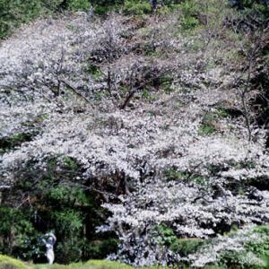 神代植物公園のサクラ(3月24日)