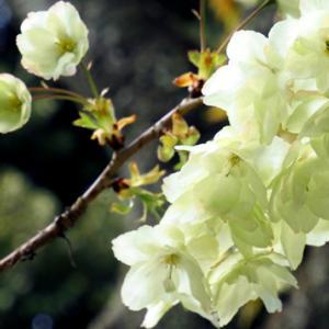 御衣黄桜(3月 北区西ヶ原 七社神社)