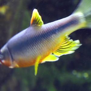 井の頭自然文化公園 番外編 川の魚(7月)