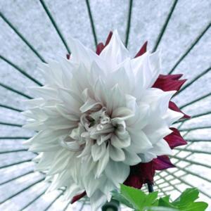 ダリア綾なす秋の園 (2020年10月21日 上野東照宮ぼたん園)