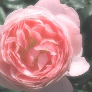 生田緑地ばら苑 Ⅴ (5月9日 寫壇太陽撮影会)