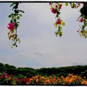 生田緑地ばら苑 Ⅵ (5月9日 寫壇太陽撮影会)