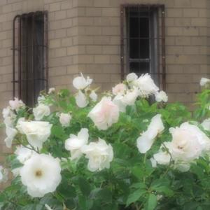 横須賀ヴェルニー公園の薔薇 Ⅲ (5月16日 寫壇太陽撮影会)