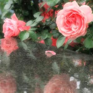 横須賀ヴェルニー公園の薔薇 Ⅲ(5月16日 寫壇太陽撮影会)