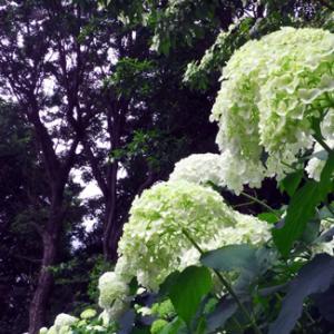 郷土の森の紫陽花 (6月13日 寫壇太陽撮影会)