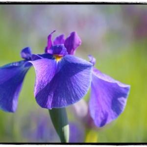 北山公園の花菖蒲 (6月)