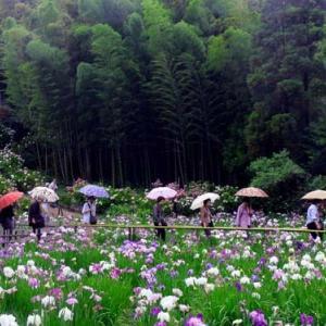 本土寺の花菖蒲 (6月)