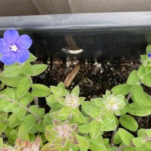 アメリカの職場のプランターに咲いていた折り目正しい青い花