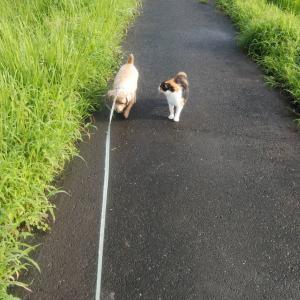 埼玉の実家にいる犬の鉄くんと仲良しの三毛の野良猫の散歩風景