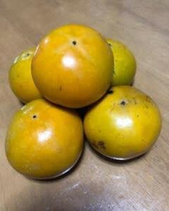 今秋初の柿