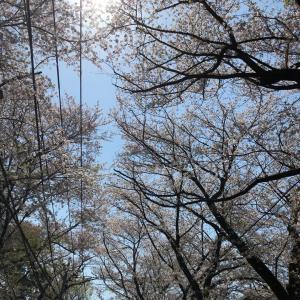 葉  桜坂
