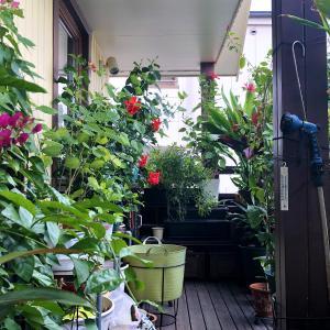 おうちハワイ - ベランダに咲くハワイ