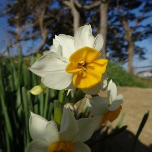 水仙が咲く季節
