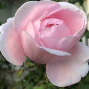 健気に咲く薔薇