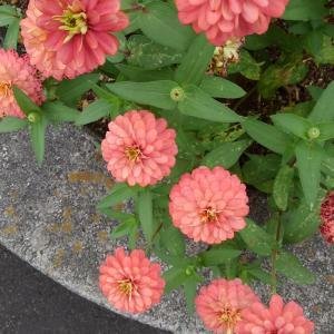 百日草 長く咲く花  民芸家具