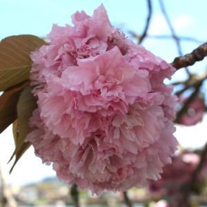 八重桜  民芸家具
