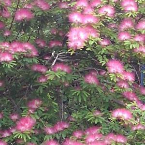 ねむの木 ピンク色の花 民芸家具