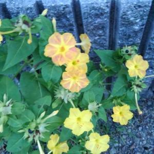 花 おしろい花  民芸家具