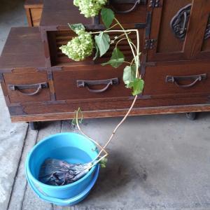 紫陽花 鉢植え   民芸家具