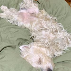 チャンタ(ウエスティ)のすごい寝姿、安心しきってる!飼い主のツボ!です/トイプーのLucaちゃん