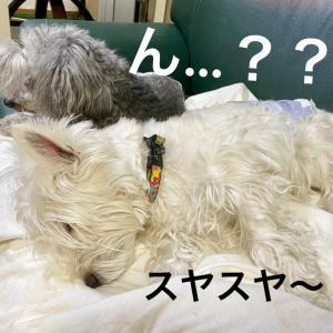 奇跡だ〜!ボスとチャンタ(看板犬ウエスティ2才)が!喜!/ダックスWISHちゃんWANBANAへ