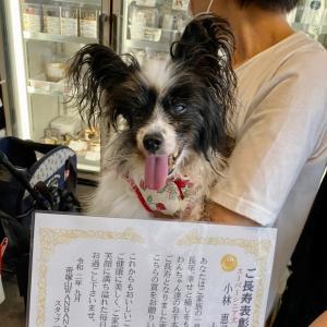 スーパーシニア犬さん、日本国中から!!店舗でも!最高/パピヨン恵子&めぐよちゃんWANBANAへ