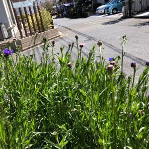 やっと咲き出した矢車草