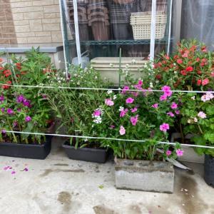 避難した花たち