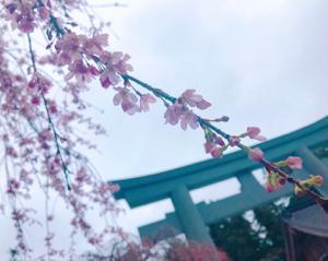 【ブライダル】܀❀ .*゚桜みっけ!܀❀ .*゚【フラージャコー】