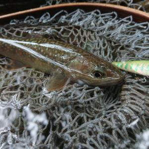 【釣果報告】 岩魚