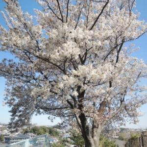 桜の丘と…コロナブルー。