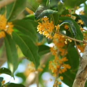 揺れる秋明菊、香る金木犀…思い出すのは。