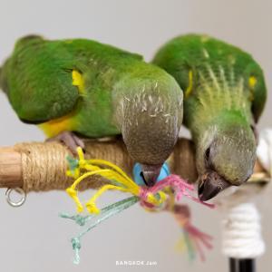 鳥さんが来ました。〜 セネガルパロット&セキセイインコ 〜