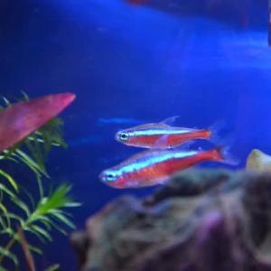 熱帯魚サバイバル その27 ~~水槽の水換え&掃除、コリドラスパンダ全滅・・・、サイアミーズ・フライングフォックスは元気~