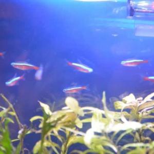 熱帯魚サバイバル その33  ~カージナルテトラ10匹導入、水換え~