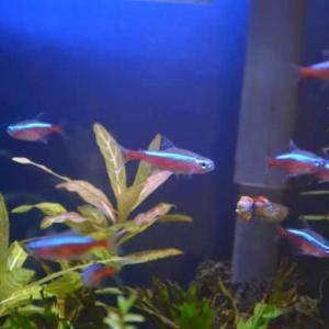 熱帯魚サバイバル その34  ~グッピー1匹・カージナルテトラ1匹死亡、水換え~